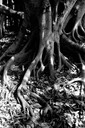 Banyan roots after Hurricane Cleo Miami, FL