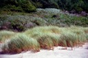 Dunes and sea grass Cannon  Beach