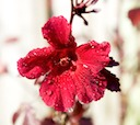 Hibiscus Red Cranberry blossom