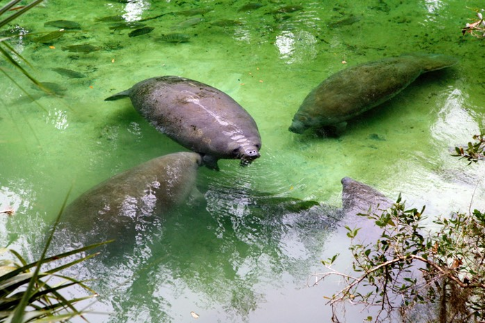 Manatees #2 Blue Springs Run