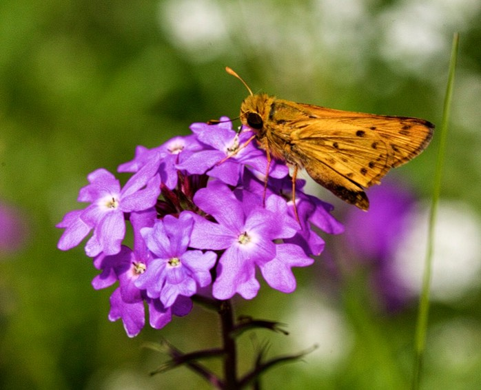 Moth on Moss Verbena 2