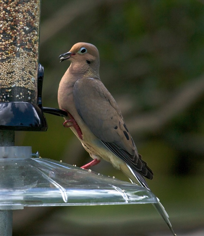 Mourning Dove Winter Park